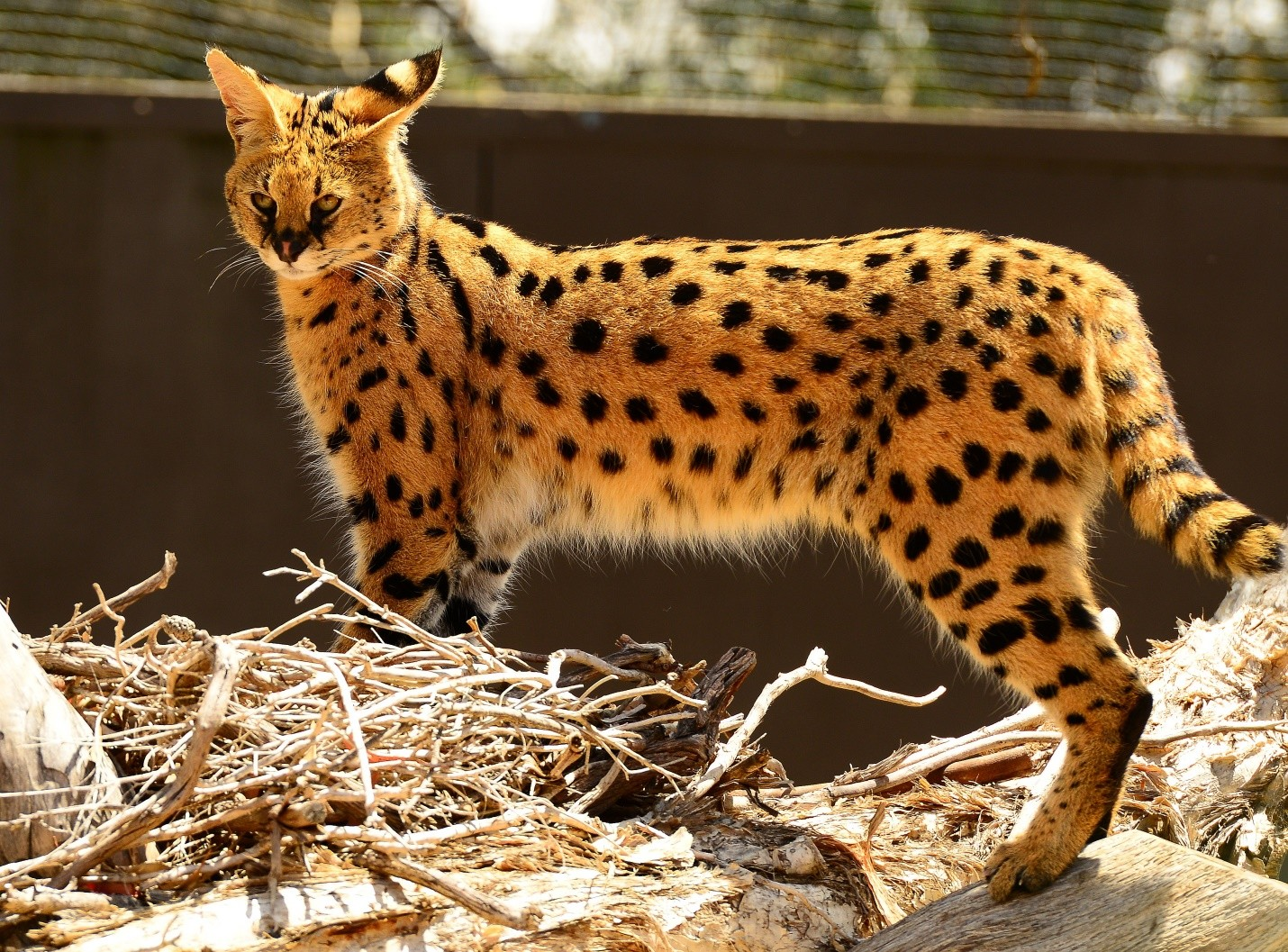 African Serval Cat Information and Facts ~ Cats for Africa