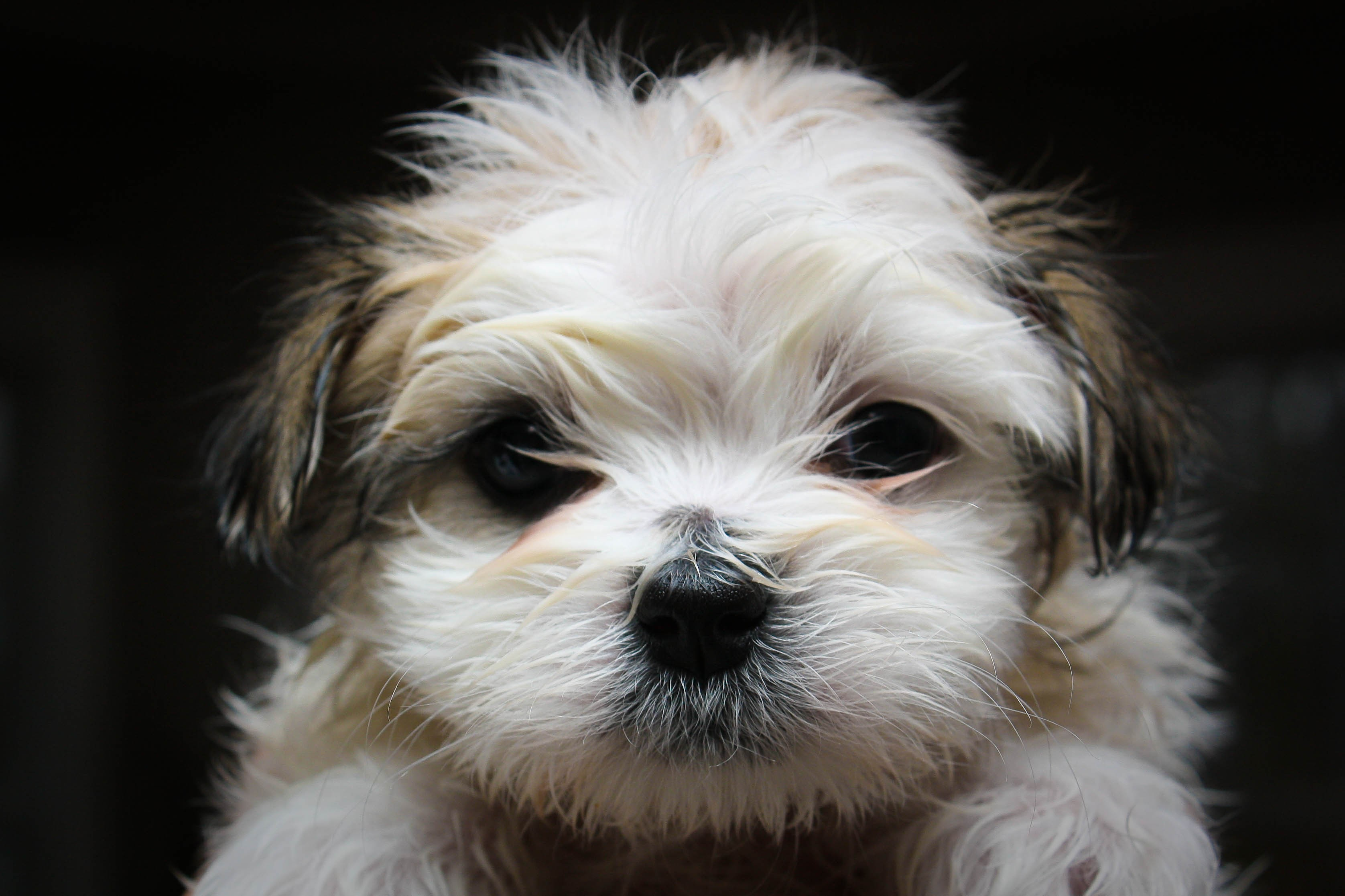A Maltese Shitzu mix can come from a purebred Maltese and Shitzu or purebred Mal-Tzu parents