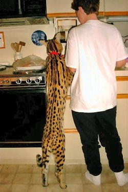 21 Things To Know Before Caring For An African Serval Cat – Tele-Talk