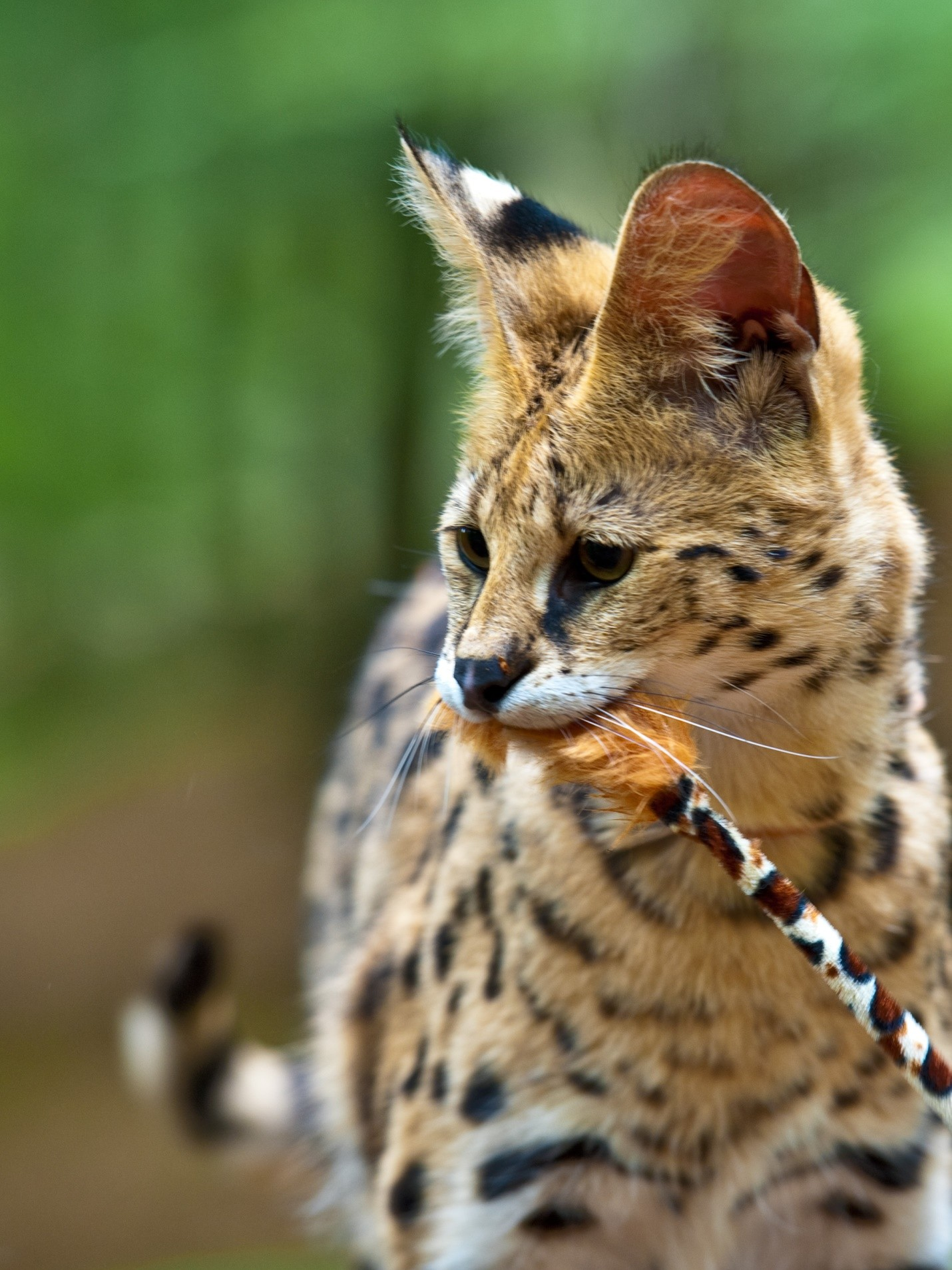 21 Things To Know Before Caring For An African Serval Cat ...