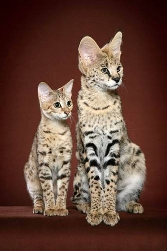 Savannah Cats are not costly