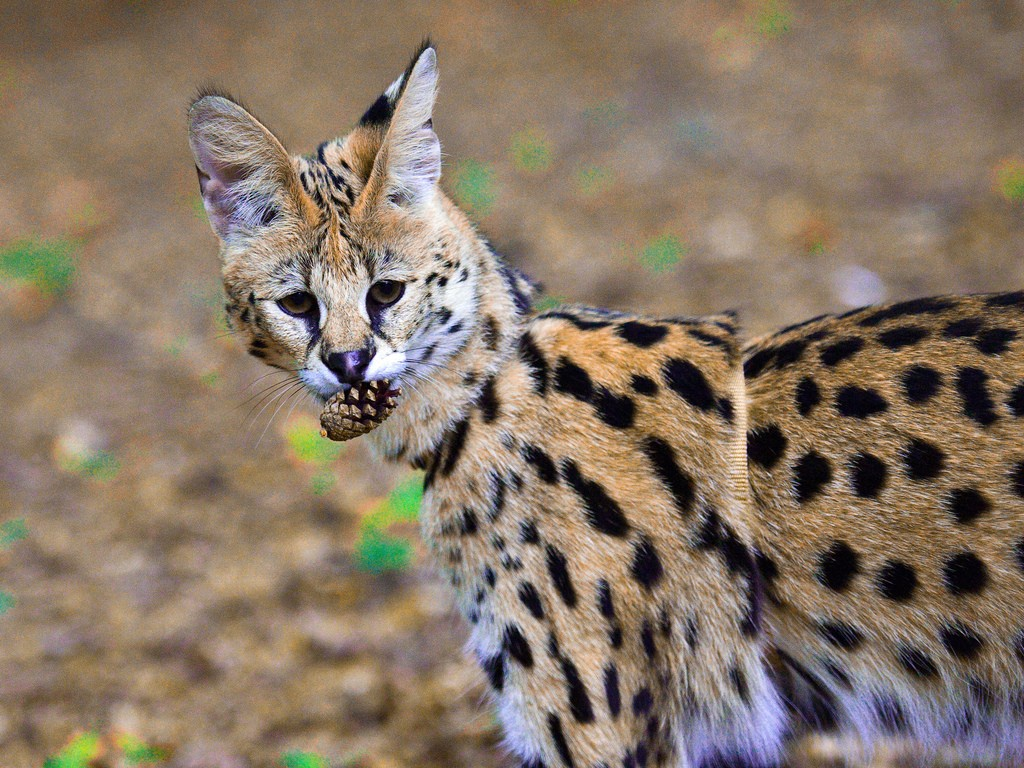 21 Things To Know Before Caring For An African Serval Cat