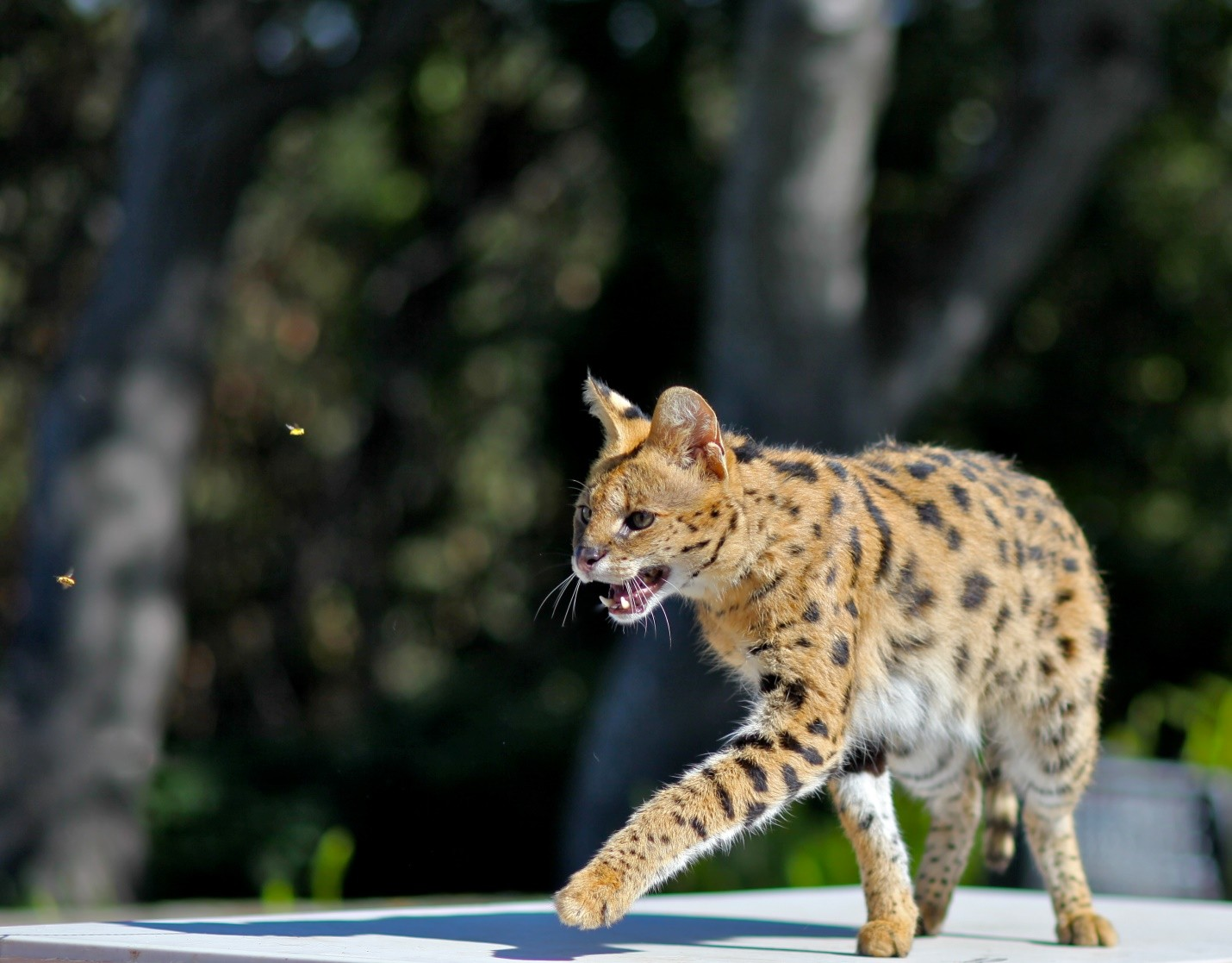 African Serval Cat
