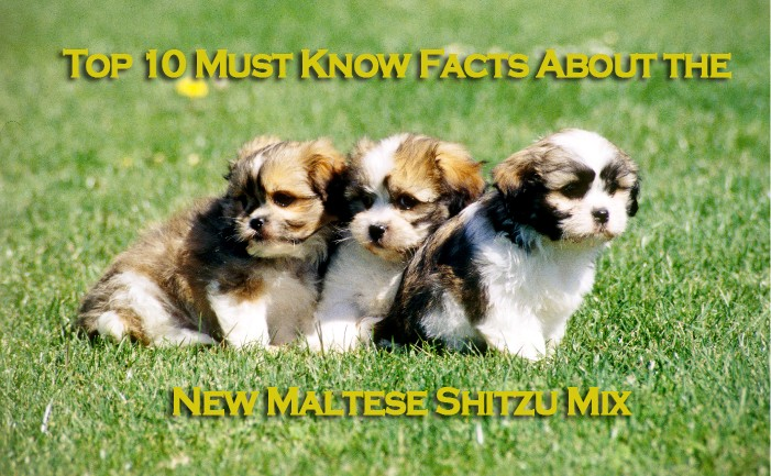 top-10-must-know-facts-about-the-new-maltese-shitzu-mix-youll-fall-in-love-with-these-adorable-and-lovely-cuties